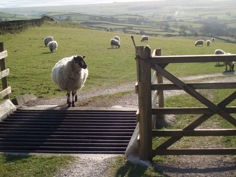 Sheep in front of a cattle grid, Wikimedia Commons
